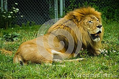 Volwassen leeuw