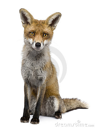 red fox sitting. FRONT VIEW OF RED FOX,