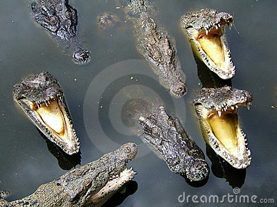 Voracious crocodile
