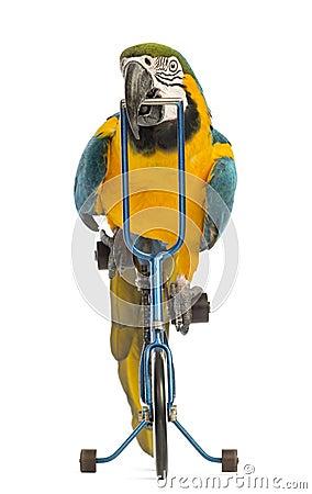 Vorderansicht eines Blau-und-gelben Macaw, Ara ararauna, 30 Jahre alt, blaues Fahrrad fahrend
