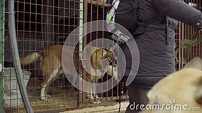 Vrijwilligers die de honden voor een gang nemen stock footage