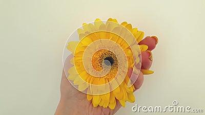 Vrouwelijke hand met gerbera-bloem mooie elegantie stock videobeelden