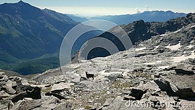 Vrouwelijke Steenbok die op rotsen en keien bij hoge hoogte op de Italiaanse Franse Alpen lopen stock video