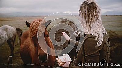 Vrouwen die IJslandse paarden eten en beroven die op een veld grazen Vrouwen die genieten van landschap en dieren op de boerderij stock videobeelden
