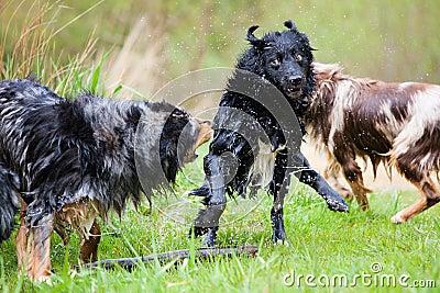Våt hundkapplöpning i handling
