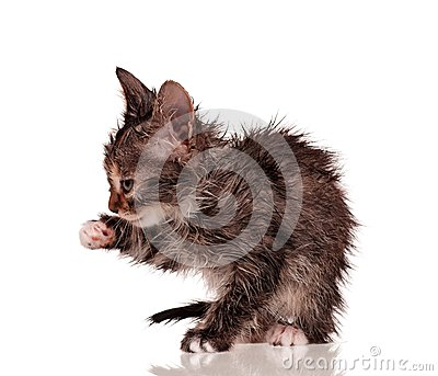 Våt kattunge