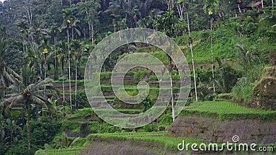 Vue d'ensemble magnifique nature terrasses de riz vert collines en asie, au milieu de la jungle eau de riziculture jeune clips vidéos