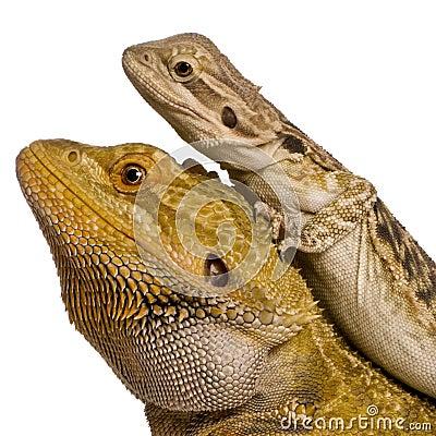 Vue de côté de deux dragons de Lawson