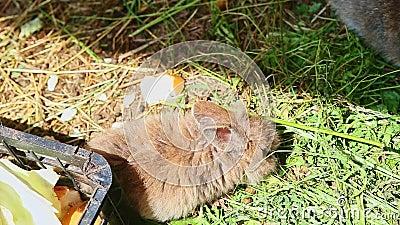 Vue de dessus sur le lapin décoratif adulte manger une bonne herbe verte banque de vidéos
