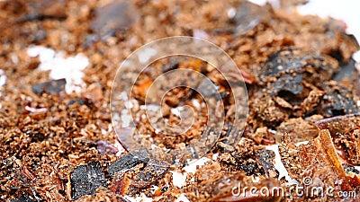 Vue latérale médecine herbacée TuBieChong ou Eupolyphaga Steleophaga ou cassé Ground Beetle rotte et pause banque de vidéos