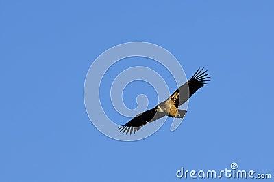 Vulture gliding