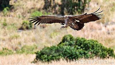 Vulture hovering over the savanna