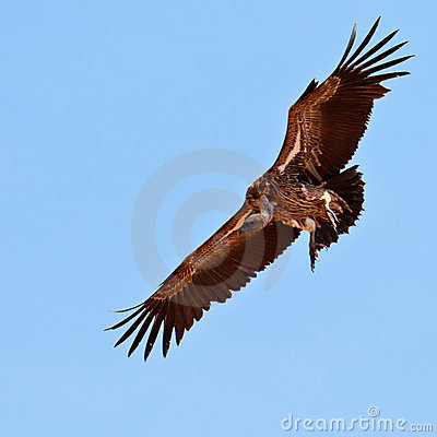Vulture hovers in the blue sky