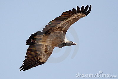 Vulture, Jodhpur, Rajastan