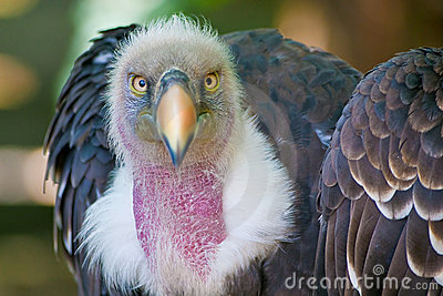 Vulture look to you with ruthless eyes