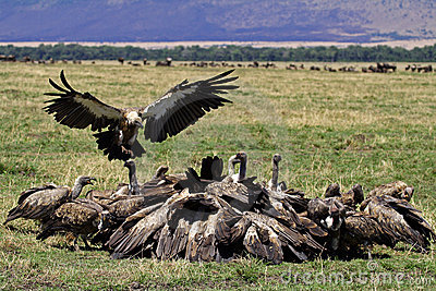 Vulture party, Masai Mara, Kenya
