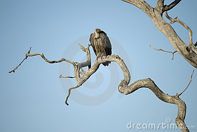 Vulture perched in tree in the Serengeti