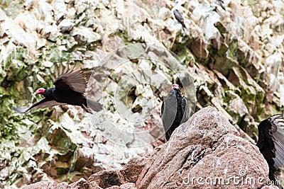 Vulture red neck birds. Ballestas Islands.Peru.South America. National park Paracas.  Flora and fauna