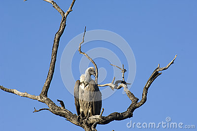Vulture in South Africa