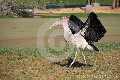 Vulture spreading wings while walking