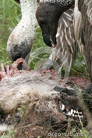 Free Vultures Eating - Serengeti, Tanzania, Africa Royalty Free Stock Photos - 10362658