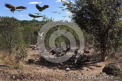 Vultures at a kill - Zimbabwe