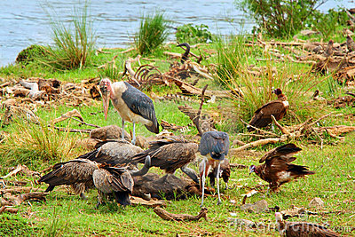 Vultures and Mararou stork