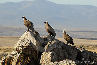 vultures resting on the stone