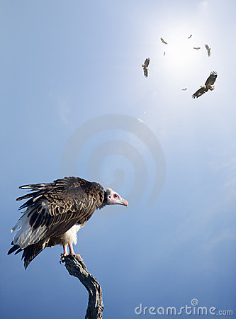 Free Vultures Waiting To Prey On Innocent Stock Photos - 20653043
