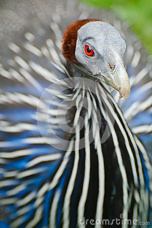 Vulturine Guineafowl detail