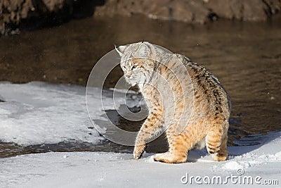 Vuxen Bobcat