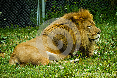 Vuxen lion