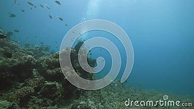 Vy under vatten: En dykdykare som simmar i korallrev med mycket fisk och vattenväxter stock video