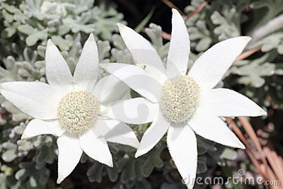 W górę biel zamknięty flanelowy kwiat