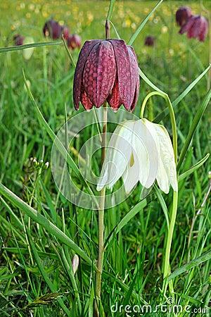 W kratkę daffodil