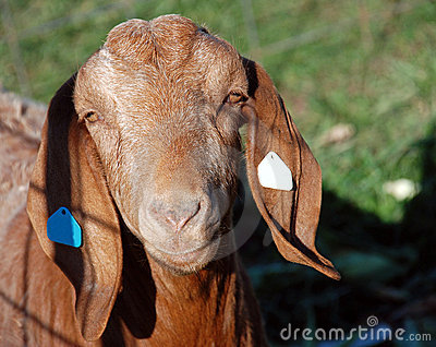 Wacky Goat