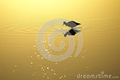 Wading bird in lake at sunset