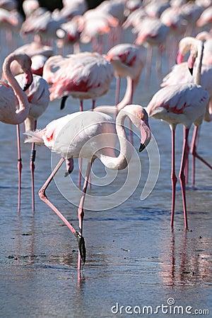 Free Wading Pink Flamingo Stock Image - 12531541