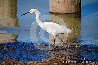 Wading snowy white egret