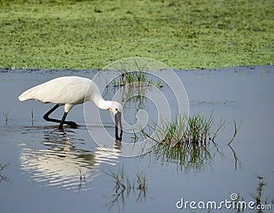 Wading Spoonbilled stork