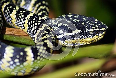 Wagler pit viper snake