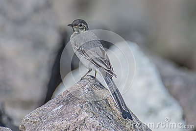 Wagtail in the tista river