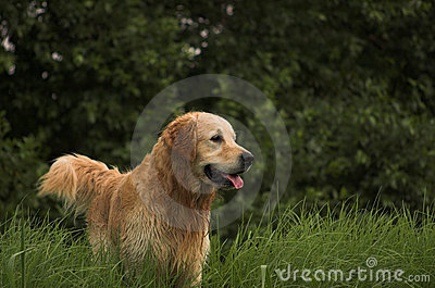 Golden Retreiver Outdoors Waiting
