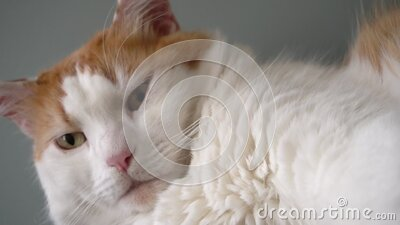 Waking up, yawning big white cat with red spots stock video