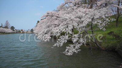 Cherry blossom on the lake. Walk along the lake during the beautiful cherry blossom stock video