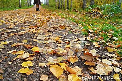Walk In The Autumn Birch Grove