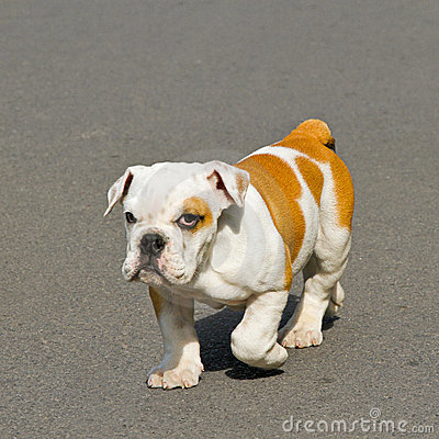Walk bulldog