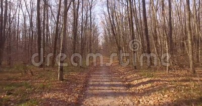 A walk in the deciduous autumn forest. Copter slowly flies over the path between the bare trees stock video footage