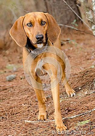 Walker Hound Foxhound mixed breed dog Stock Photo