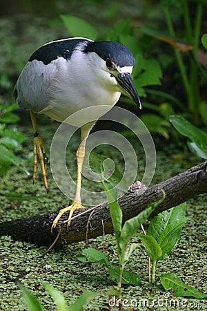 Free Walking Black Crowned Night Heron Royalty Free Stock Image - 109646